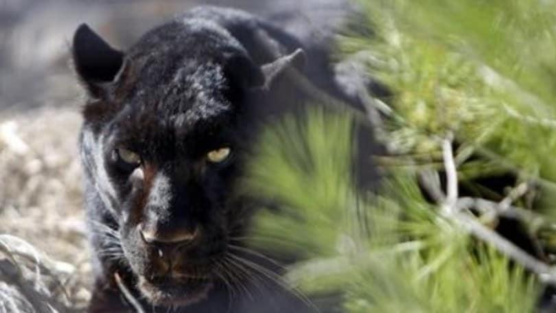 Attenti alla Panthera, che vuole la F1 nel 2021